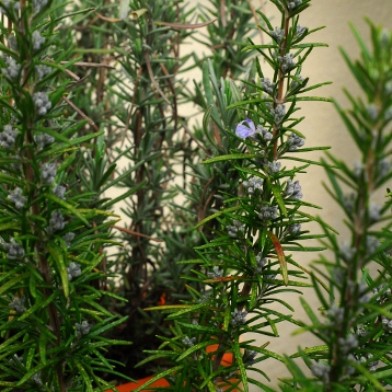 Rosemary starting to flower