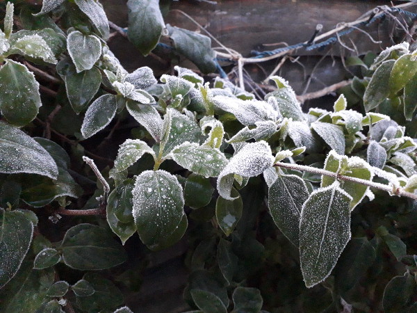 Frosty honeysuckle