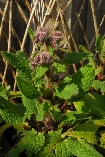 Borage buds