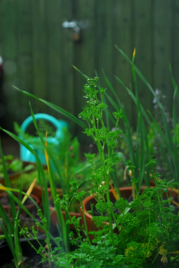Parsley trying to flower, in the rain