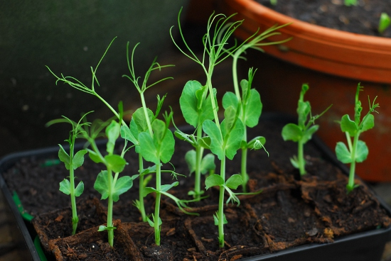 Pea seedlings on their first day out in the garden